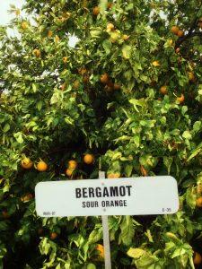 Bergamotka